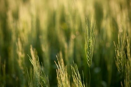 Little Wheat on the Prairie