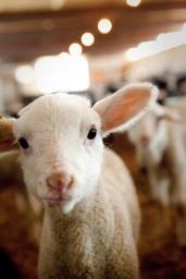 sheep00005