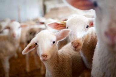 sheep00019