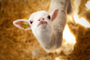 sheep00116