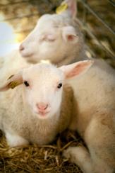 sheep00183